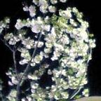 帰宅途中の花見